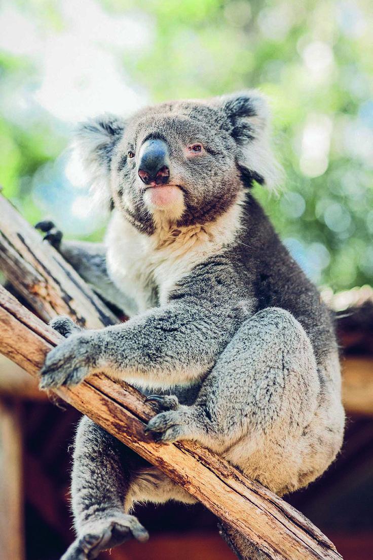 RoyalAuto May, 2016. Wander Victoria. Ballarat.  Photo: Tourism Victoria #ballarat #BallaratWildlifePark #wildlife #koala