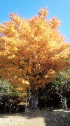 見てくださいこの見事なもみじの紅葉() 昨日11月6日は熊本県下益城郡にある二本杉では紅葉祭りがありました 昨日はお天気も良く紅葉を見るのに最高のシチュエーションでした この大きなもみじの木赤ではなく黄色に紅葉していました なんとも美しい(っωc) 日本人に産まれてよかった()  #熊本県下益城郡#二本杉#紅葉祭り#紅葉 tags[熊本県]