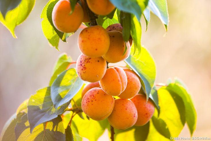 abricotier au jardin