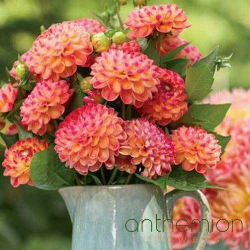 Όμορφες Ντάλιες! Ποιότητα και ολόφρεσκα λουλούδια και όμορφες συνθέσεις! Αnthemionflowers! #flowers #send_flowers #ανθοπωλείο #αποστολη #λουλουδιων