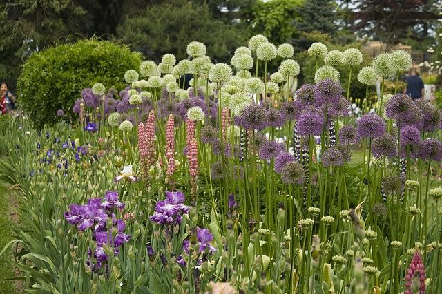 Schreiner 39 S Iris Garden Alliums And Lupine Gardens