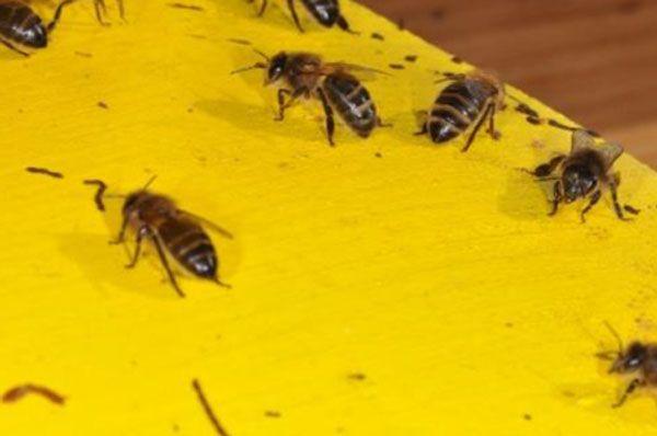 مرض النوزيما هو مرض فطري يسببه نوعان من الفطريات هما Nosema Apis و Nosema Ceranae نحل مصاب بالنوزيما أعراض مرض النوزيما ي Bee Insects