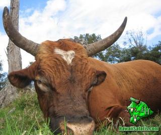 Wild Bull Hunts