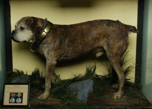 Bills Botha earned 2 Boer WAR campaign medals. Regiment mascot died in 1915