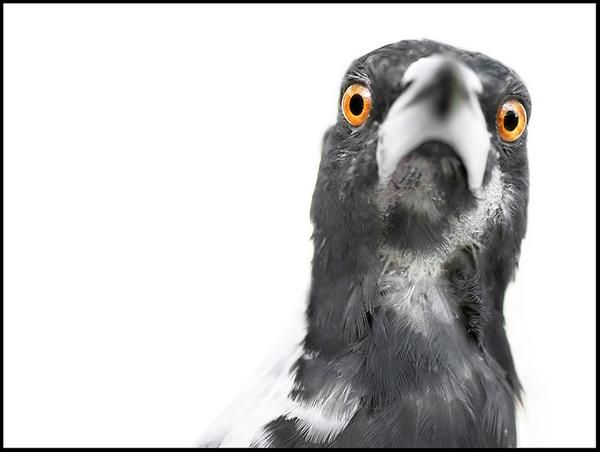 Magpie - bird photography print by nature photographer and wildlife carer Angela Roberston-Buchanan. #lifebetterwithart