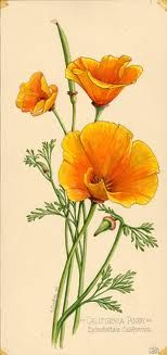 Eschscholzia californica (Common Names: California-poppy, Golden-poppy, California-sunlight, Cup-of-gold)