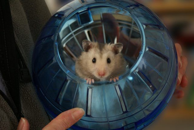 Hamsters are naturally nocturnal, meaning they like to sleep during the daytime and stay awake during the night.
