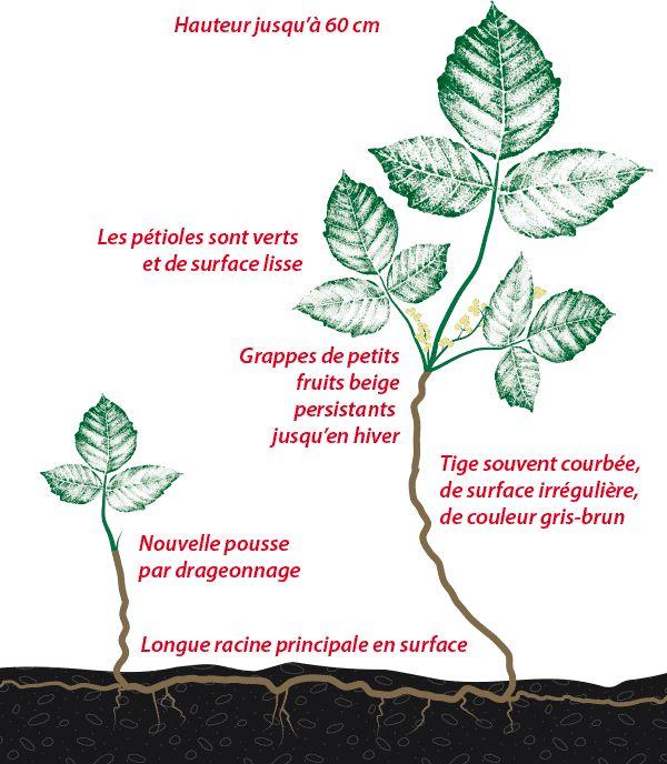 Illustration d'un plant d'herbe à puce rampante (T. Rydbergii)