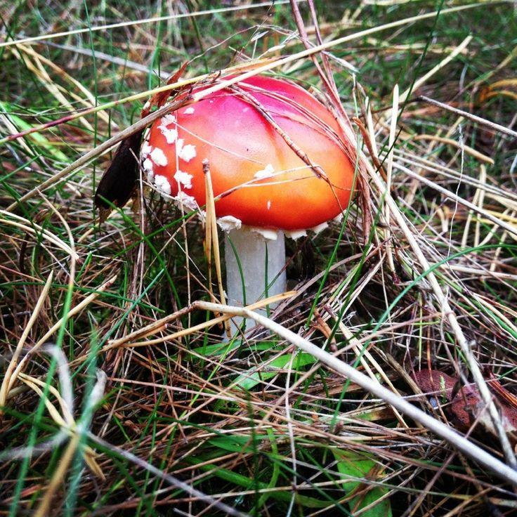 Во многих европейских языках название этого гриба происходит от старинного его способа применения — в качестве средства против мух. Викинги часто употребляли настойку из мухомора накануне битвы. Во время битвы воины становились бесстрашными, а также делались нечувствительными к боли. В красном мухоморе содержатся холин и алкалоид мускарин, а также циклическая гидро-ксиловая кислота, мусцилин — это токсичные, сильно возбуждающие нервную систему вещества. Они обусловливают галлюциногенные…