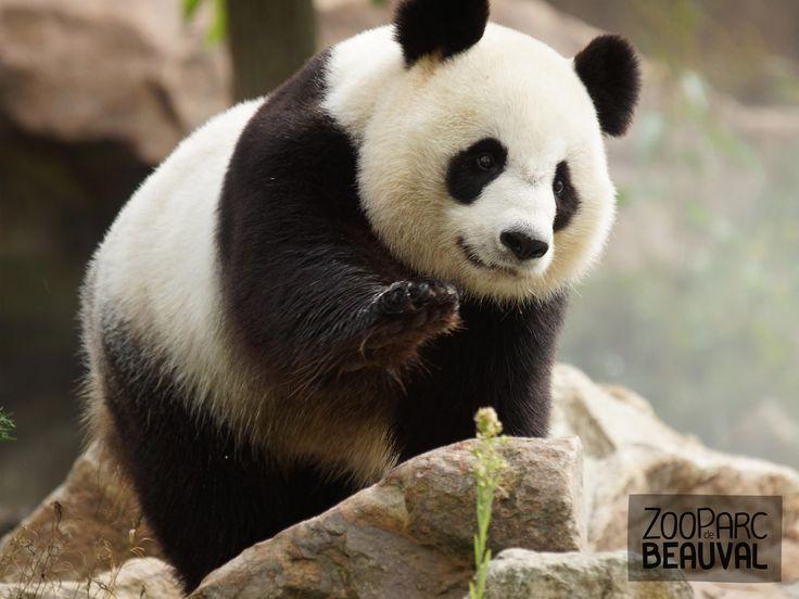 Huan Huan, femelle #panda géant - ZooParc de Beauval
