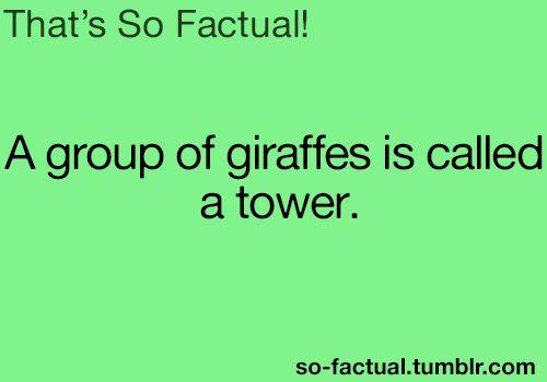 A tower of Giraffes gamboled across the sun-soaked savanna. haha