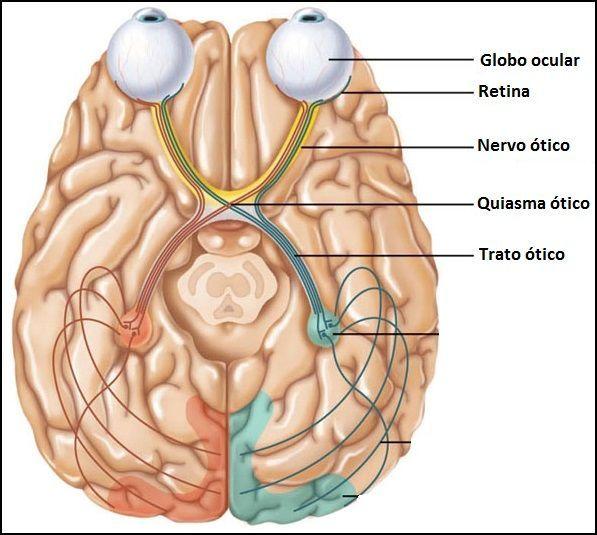 Molero, A.(2012) Principios de neurociencia y comportamiento. España: Pearson Educación. En el sistema visual existen dos tipos de retinas, retinas temporales y nasales. Los axones de ambas retinas forman el nervio óptico, distinguiendo entre hemiretinas nasales y hemiretinas temporales. Las fibras nasales decusan formando el quiasma óptico, mientras que las fibras temporales transcurren ipsilateralmente.
