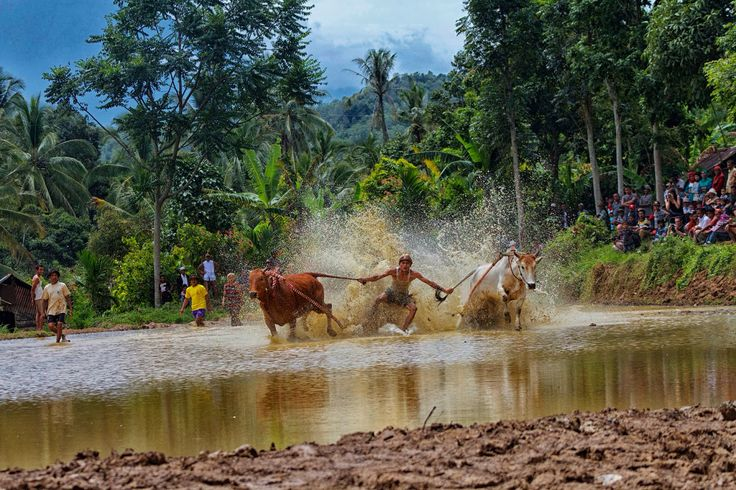 Pacu Jawi (cow race) is a one of tradition from Minangkabau (Sumatra Barat, Indonesia)