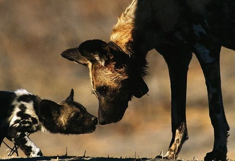 #25Reasons: The African wild dog. Technically a wolf. Often confused with the hyena. Highly intelligent and family-orientated. Highly endangered. See them at the Knysna Wolf Sanctuary!