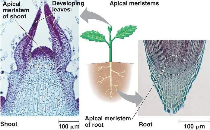 root tissue map cellular structure The purple structures are starch-storing leucoplasts in parenchyma cells of the  root cortex young dicot root  monocot root vascular tissue x400 moving from.