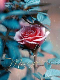 Нежная роза под дождём - анимация на телефон №1246992