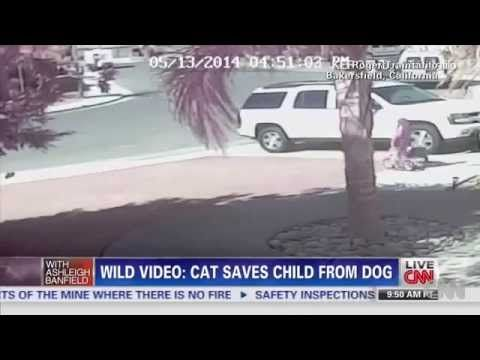 Hero Cat Saves Young Boy From Dog attack - Credits CNN . Hero Cat Saves Young Boy From Dog Attack In Bakersfield . Hero Cat saves little boy dog attack cat ...