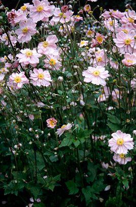 Anemone × hybrida 'Königin Charlotte'