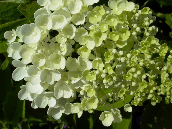 Pee Gee Hydrangea Tree (small ornamental tree). In fall, the white flowers turn to gorgeous shades of rasberry & mossy green as they dry up. (perennial zone 5)