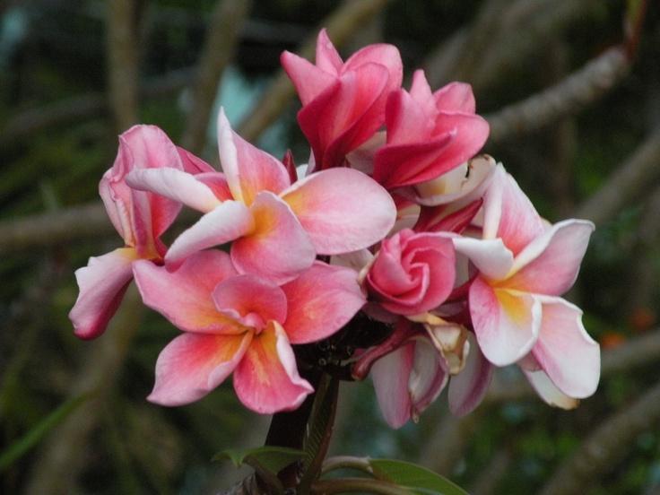 Caribbean Flowers: 1000+ Images About Tropical Caribbean Flowers, Plants