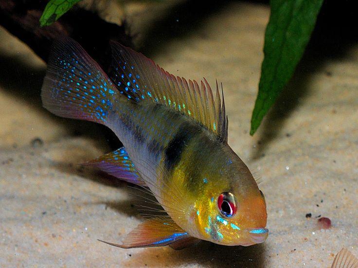 1000 images about dwarf cichlid m ramirezi on pinterest for German ram fish
