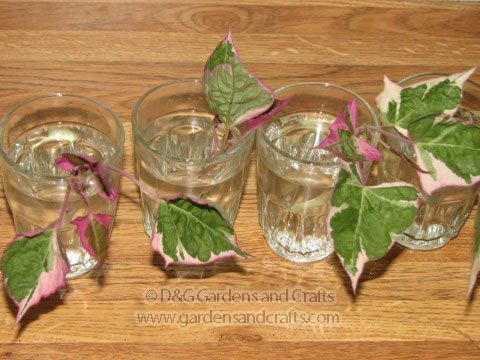 How to root sweet potato vines in water to make free plants