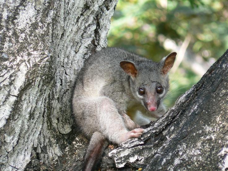 Darwin Civic Centre Park Possum