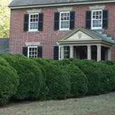 Wintergreen Boxwood | Wintergreen Boxwood for Sale for Sale | Fast Growing Trees