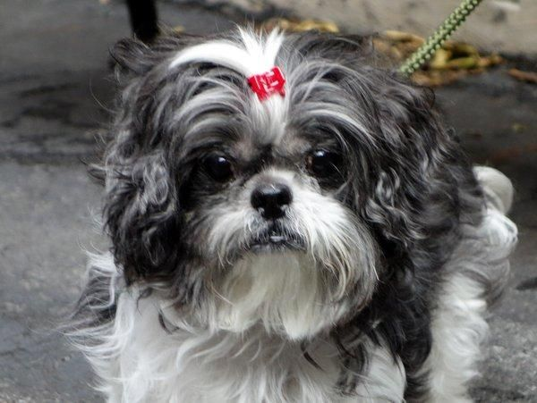 PUCHY Shih Tzu Mix • Adult • Male • Small Animal Care
