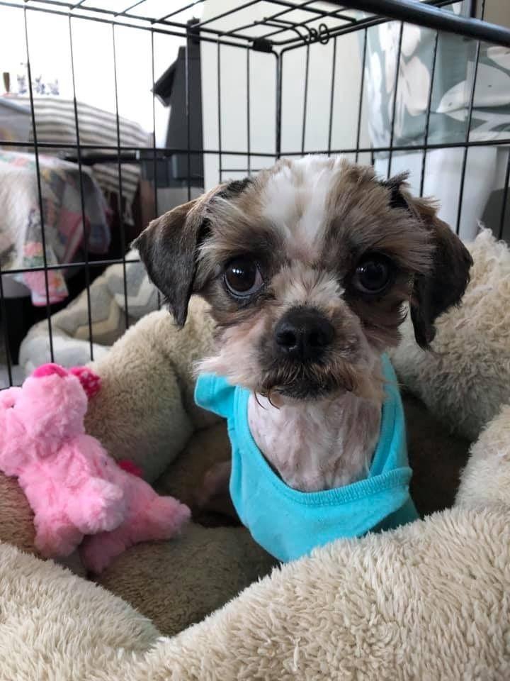 Adopt Trixie On Rescues Shih Tzu Dogs Shih Tzu Rescue