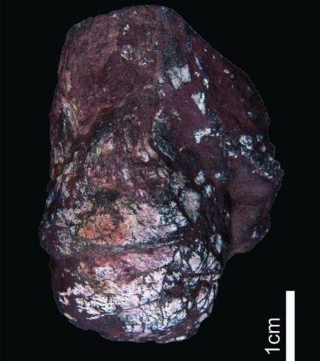 Ce coprolithe de requin, excrément fossilisé, contient des oeufs de ténia datant de l'ère paléozoïque