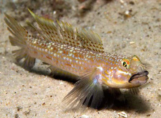 Hoese's Sandgoby, Istigobius hoesei  - It lives in protected bays and estuaries in depths from 3 m to 20 m.