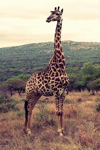 GiraffesFavorite Places, Animal 3, Favorite Animal, Giraffa Camelopardali, Daisies Giraffes, Of Giraffes, Animals 3