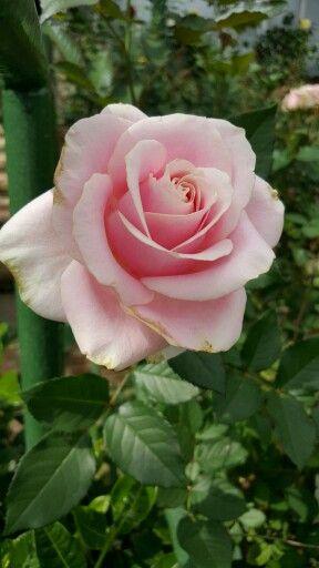 'Lexteews Sweet Avalanche' Hybrid Tea Rose (Rosa)