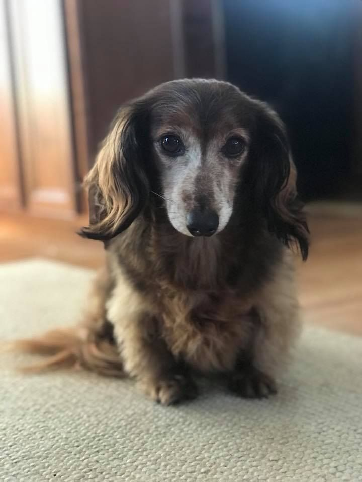 Beautiful Senior Doxie Dachshund Breed Dapple Dachshund Long