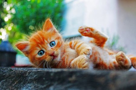 Blue Eyes - ginger, orange, eyes, kitten, cat, blue, stripes