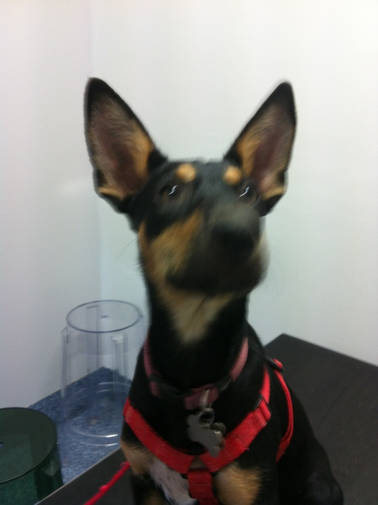 The best ears in town! No way you'd creep past this little one!