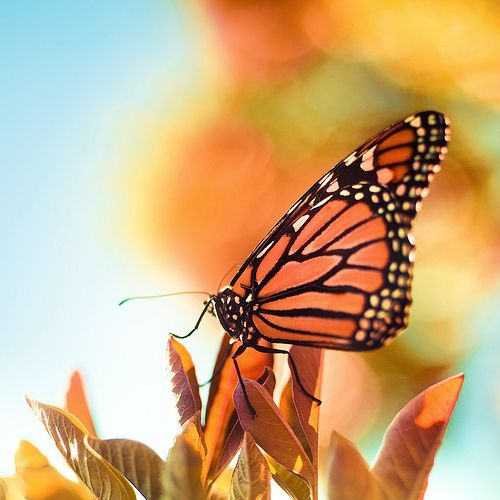 Beautiful monarch.