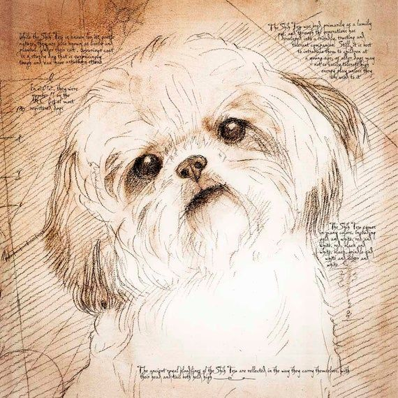 Items Similar To Shih Tzu Tilted Head Framed Giclee Print On Archival Paper From An Original Drawing In The Style Of Leonardo In 2020 Shih Tzu Dog Art Shih Tzu Dog