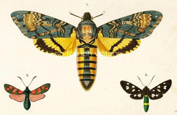 1861 Papillon Sphinx lithographie ancienne par sofrenchvintage