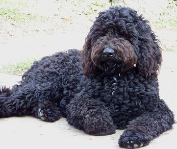 Labradoodle (Lab mixed with Standard Poodle) Owned two ...