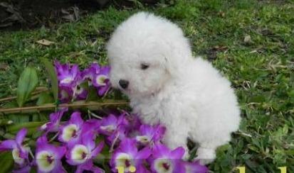 Este caniche tan bonito busca un hogar http://venta-mascotas.vivavisos.com.ar/comprar-mascota+villa-del-parque/caniches--microtoy-y-toy--todos-los-colores--4568-6783-cap-/38015583