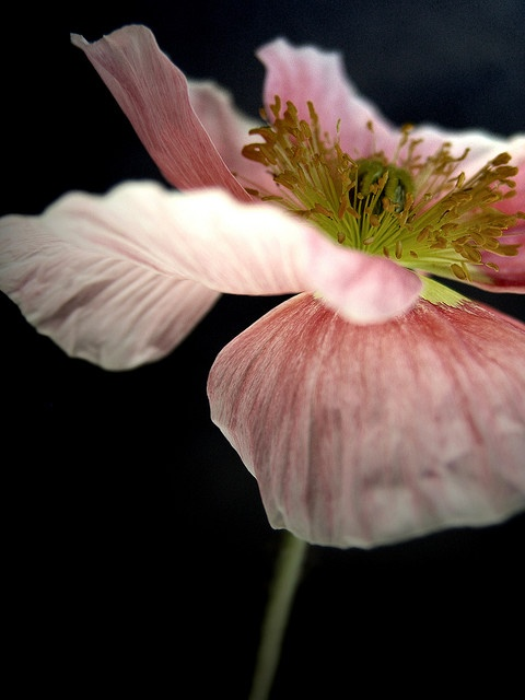 Pink poppy by Alicia Bock on flickr.