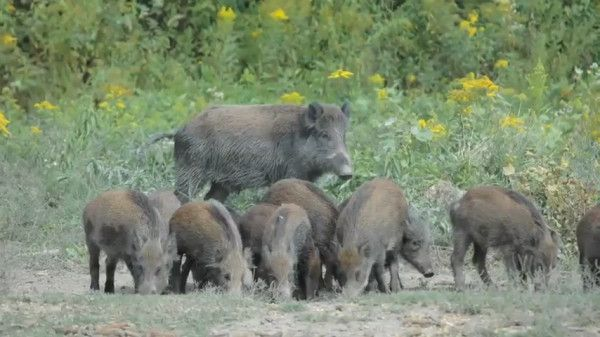 Unemployment Extension: Putting more Corn on the Ground Have you ever tried to catch a wild pig???  what happens when wild pigs lose their freedom?