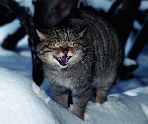 Europäische Wildkatze (Felis silvestris silvestris), Foto: Herbert Grabe