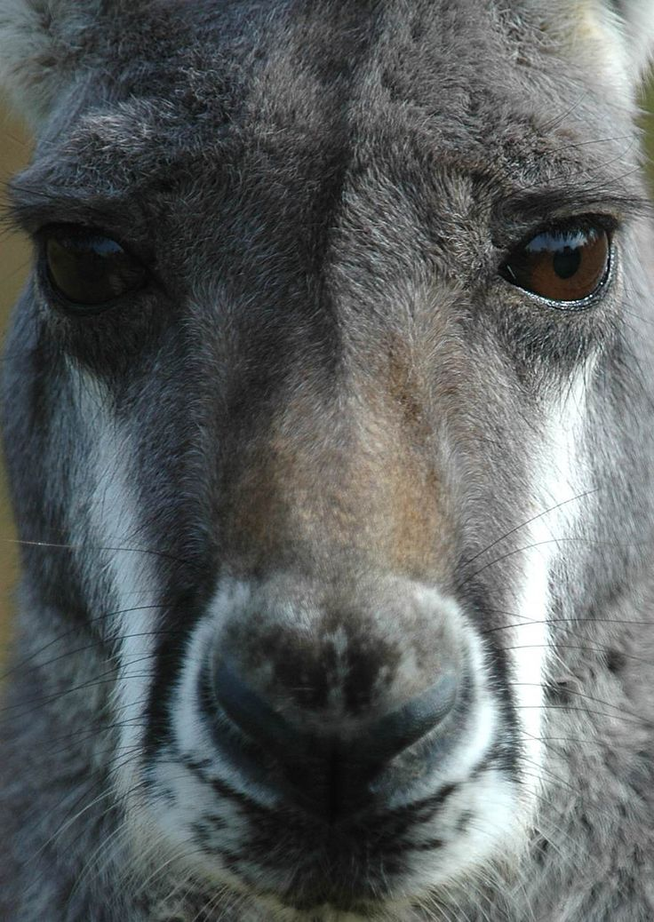 big male grey kangaroo extreme close-up with intense eyes- maybe ready for some sparring