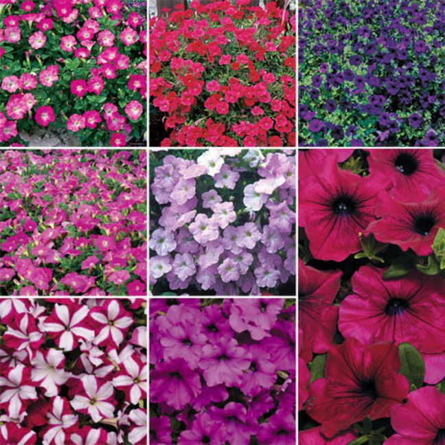 Petunia - symbolism can differ depending on a person's intentions. Petunias can represent haughtiness, resentment and anger over something the recipient has done. In contrast, when petunias are given to a loved one, their pleasant appearance means the recipient's presence is soothing to the other person.