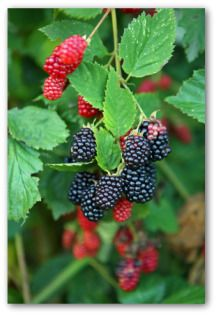 Growing Blackberries, Planting Blackberries, How to Grow Blackberries