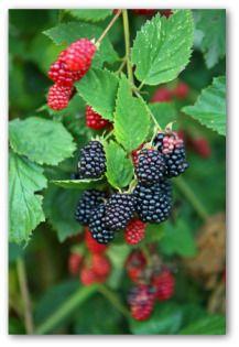 Growing Blackberries in Your Own Garden or Backyard