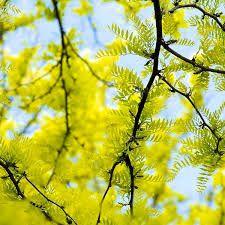 Gleditsia sunburst - leaf